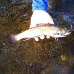 Nice trout