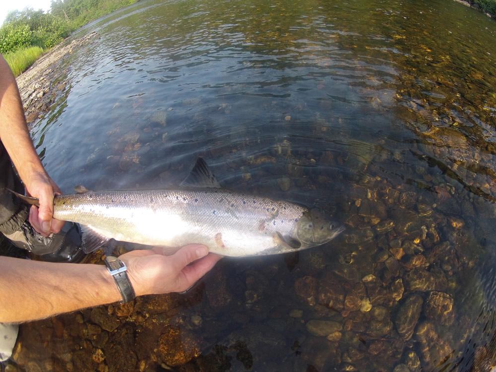 Atlantic Salmon released
