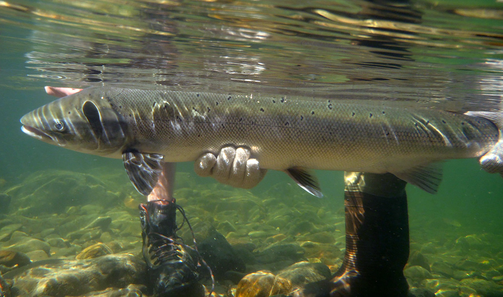Bright 36-inch female released on the Upsalquitch this past weekend by Ben Giffin. Photo Geoff Giffin/ASF