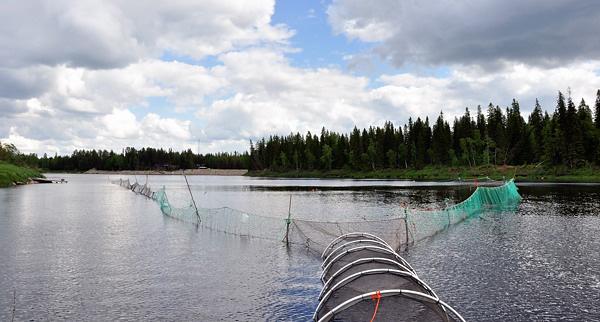 Salmon Smolt trap, Nikkilänsuvannolla. Photo: Ville Low