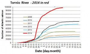 The Tornio River is experiencing a phenomenal return of Atlantic salmon in 2014.