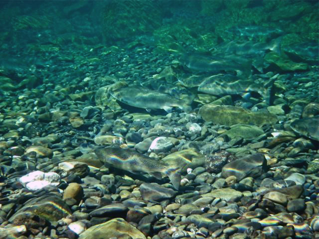 Atlantic salmon can be artists of camouflage with the changing light from above and the broken pattern of cobblestones below, especially in rivers such as the Bonaventure and Grande.