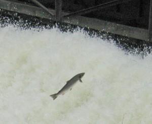 Salmon leaping at dam near Kilrea, on the Bann River, Northern Ireland. Photo Tom Moffatt