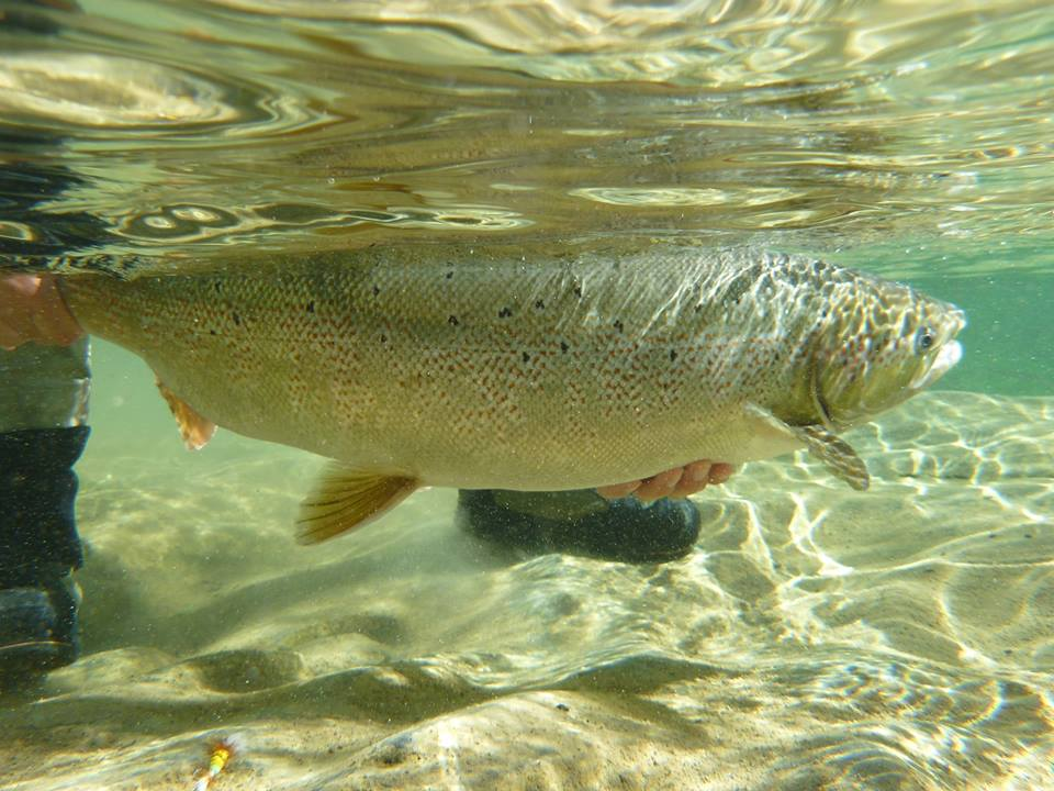Photo by Christopher Minkoff of female Atlantic salmon