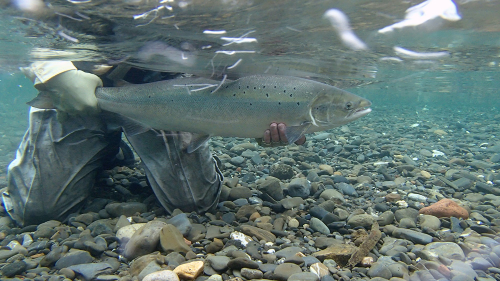 Leon G. Jackson releases a salmon on the Petite Cascapedia on 22 July. Photo Christian Kirouac.