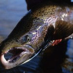 Fly fishing on the Miramichi River, New Brunswick, Canada.