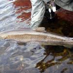 35 lb Miramichi Salmon