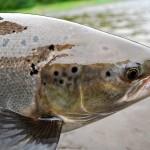 Rocky Brook Salmon