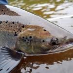 Miramichi Atlantic Salmon
