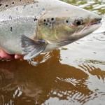 miramichi-june-salmon