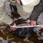 save-cains-trout