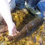 sea-run-trout