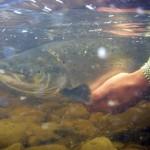 underwater-salmon